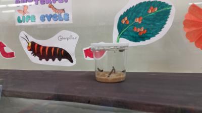 Butterfly caterpillars